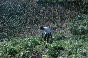 Nahua Man Weeding Milpa, 1970